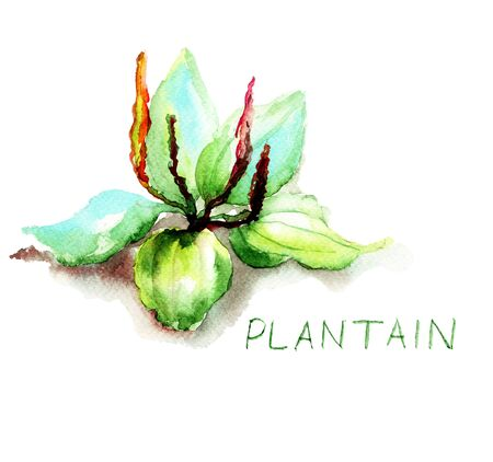 medicinal plants: Greater Plantain, watercolor illustration