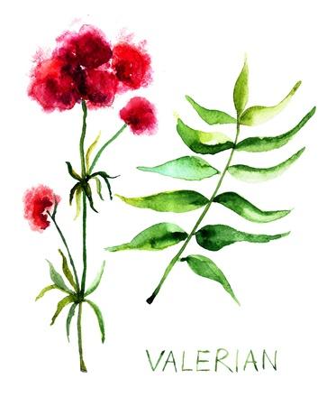 valerian: Valerian herb, watercolor illustration