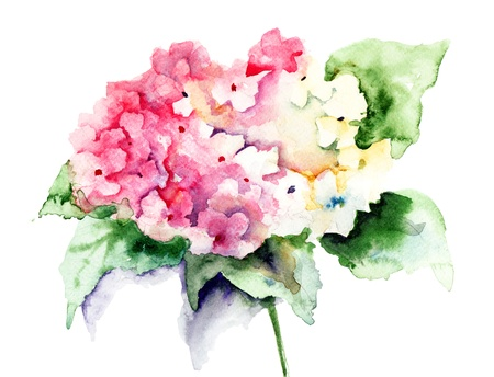Beautiful Hydrangea pink flowers, watercolor illustration Stock Photo
