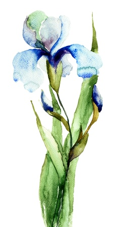 botanical drawing: Watercolor illustration of Iris flower Stock Photo