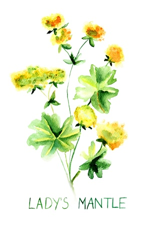 mantle: Ladys mantle herb, Watercolor illustration