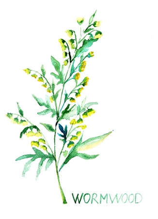 Common Wormwood, watercolor illustration