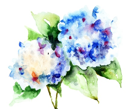 Mooie Hydrangea blauwe bloemen, aquarel illustratie