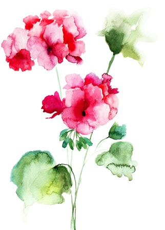 geranium: Geranium flowers, watercolor illustration