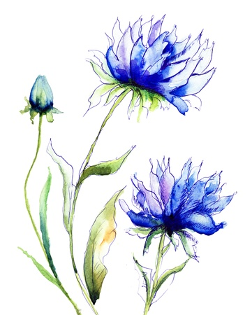 Blue Colored Cornflowers, watercolor illustration  illustration