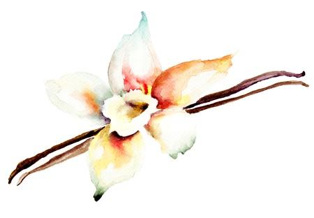Vainas de vainilla y flor, ilustración acuarela Foto de archivo