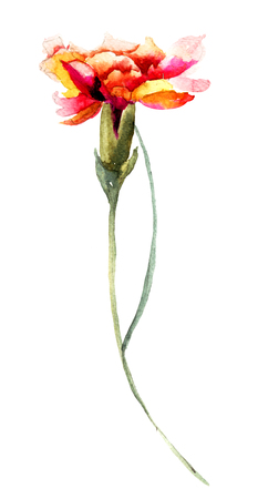 clove: Beautiful Clove flower, watercolor illustration