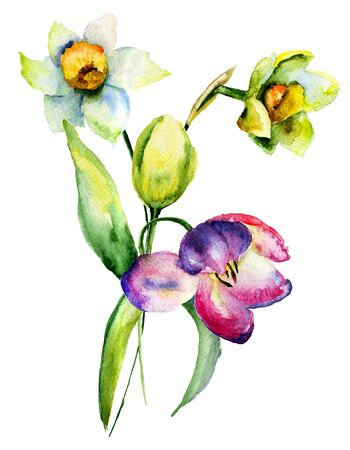 narcissus: Narcissus and Tulips flowers, watercolor illustration