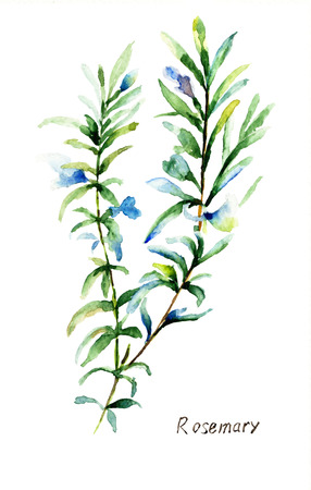 Watercolor illustration of Rosemary