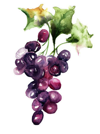 grapes: Watercolor illustration with grape cluster