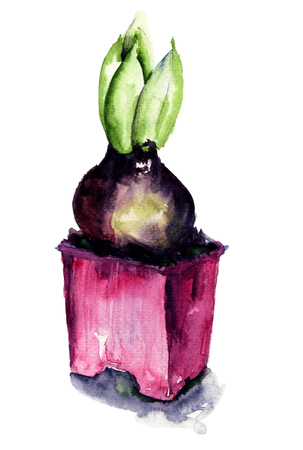 hyacinthus: Hyacinthus flowers watercolor illustration
