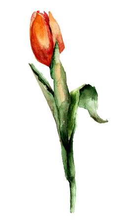 Red Tulip flower, watercolor illustration