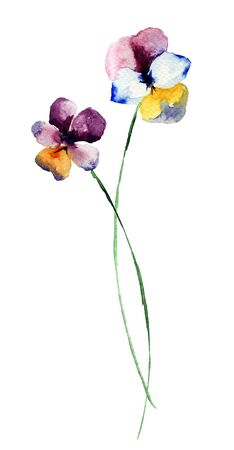 Pansy flowers, watercolor illustration Stock Photo