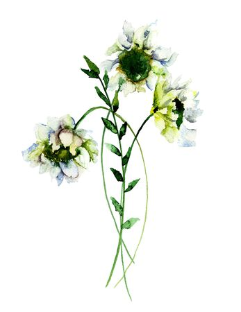 White Gerber flowers, watercolor illustration Stock Photo