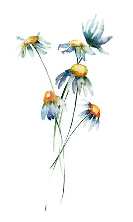 Camomile flowers, watercolor illustration Stock Photo