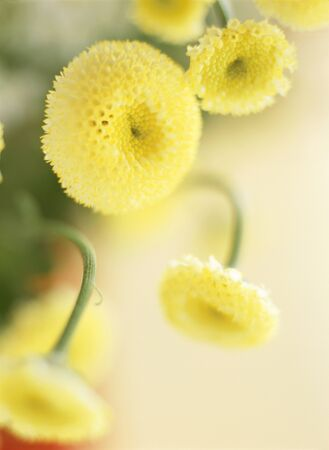 matricaria: yellow matricaria Stock Photo