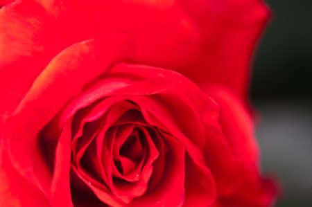 position d amour: rose rouge