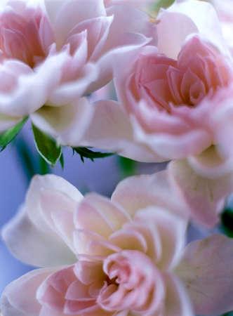 position d amour: rose