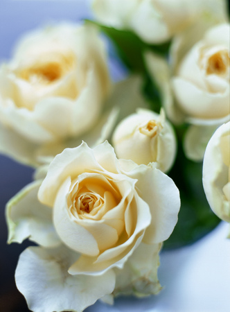 position d amour: roses blanches