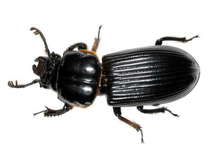 Tropical bessbug family Passalidae photo