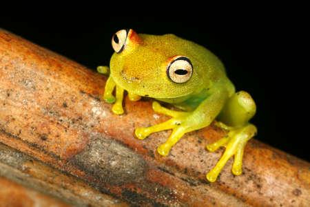 treefrog: Rough-skinned green treefrog (Hypsiboas granosus) Stock Photo