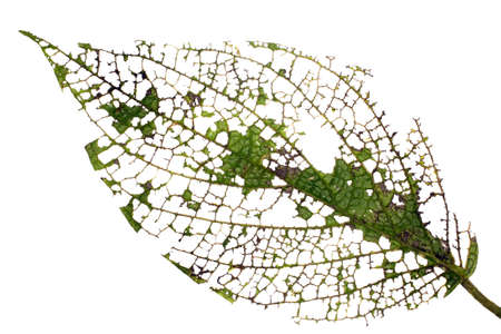 Leaf of a rainforest plant after attack by browsing insects