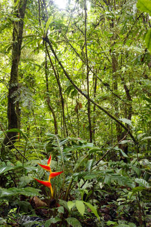 Heliconia plant flowering in the Amazon rainforest