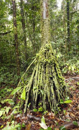 rooted: Stilt rooted palm (Iriartea deltoidea) in the Ecuadorian Amazon