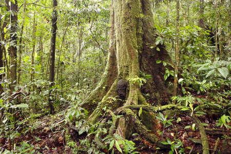 Large rainforest tree in Ecuador