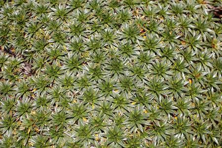 Detail of a cushion plant on the Ecuadorian paramo Stock Photo - 4697677