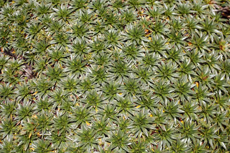 montane: Detail of a cushion plant on the Ecuadorian paramo Stock Photo