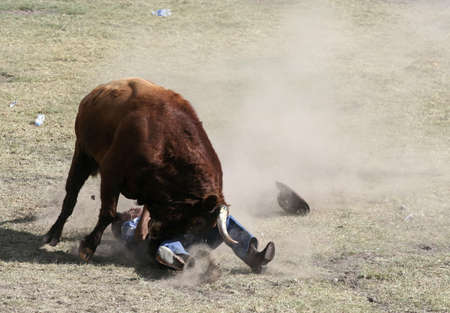 Man being tossed by a bull at an Ecuadorian country bullfight Stock Photo - 4833786