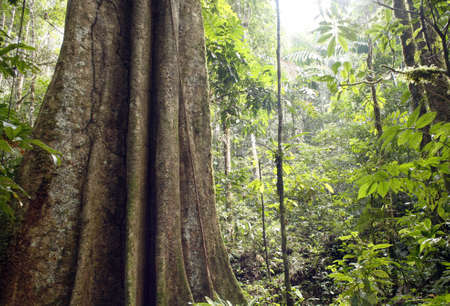 canopy: Giant rainforest tree in the Ecuadorian Amazon