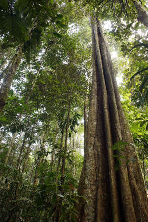 Giant rainforest tree in the Ecuadorian Amazon