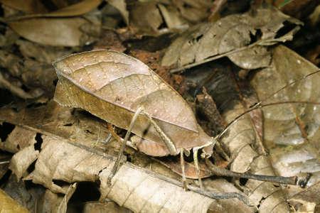 Leaf mimic katydid camouflaged among dead leaves in the Ecuadorian Amazon