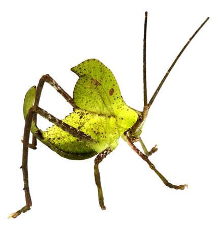 mimic: Green leaf mimic katydid