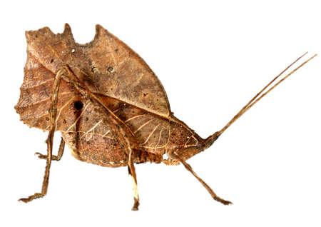 Leaf mimic katydid from the Amazon Stock Photo