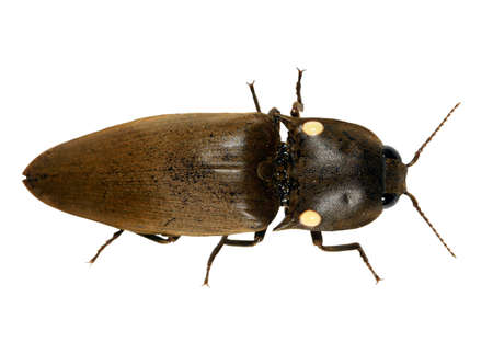 Bioluminescent click beetle (Pyrophorus) photo