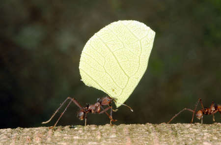 atta: Ant Tagliafoglia portando una foglia Archivio Fotografico