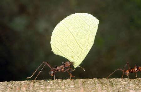 hormiga hoja: Hormiga cortadora de hojas con una hoja