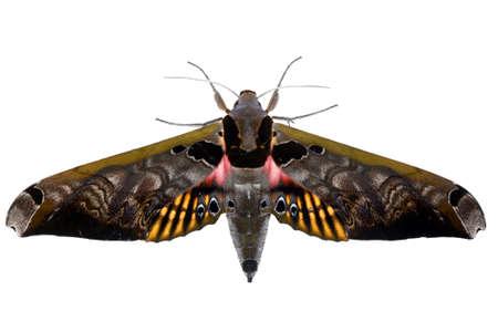 sphingidae: Hawk moth (Sphingidae) from the Ecuadorian Amazon