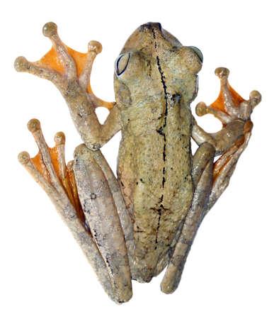 treefrog: Rosenbergs treefrog (Hypsiboas rosenbergi) from Western Ecuador