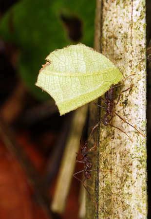 atta: Leaf Cutter Ant
