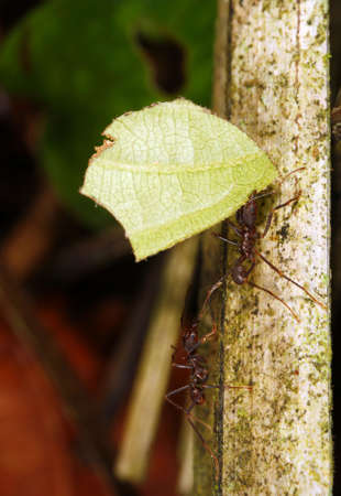 Leaf Cutter Ant photo