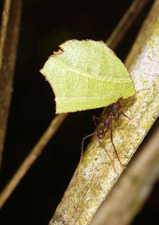 leaf cutter ant: Leaf Cutter Ant