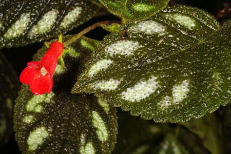 montane: Gesneriad flower in cloudforest in Ecuador