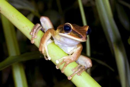 treefrog: Sharp nosed treefrog (Hypsiboas lanciformis) in the Ecuadorian Amazon