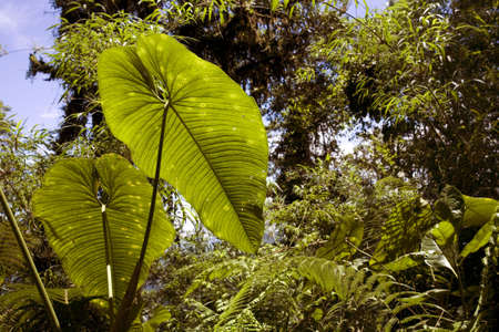 Interior of cloudforest in Western Ecuador with backlit Philodendron leaf photo