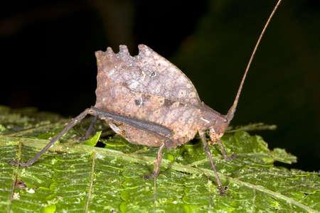 mimicry: Leaf mimic katydid from the Ecuadorian Amazon