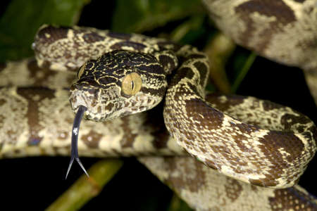 Amazon tree boa (Corallus hortulanus) photo